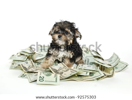 A cute little Morkie puppy sitting in a pile of money on a white background.