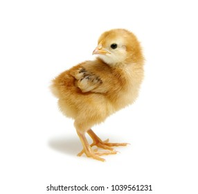 cute little newborn chickens isolated on white background