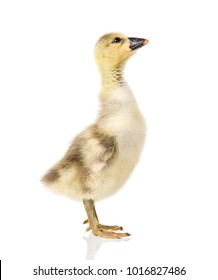 Cute little newborn fluffy gosling. One young goose isolated on a white background. Nice geese big bird.
