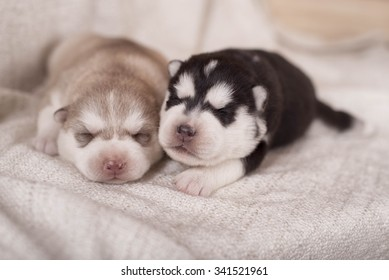 cute little newborn husky lying together and sleeping.  The little puppies are two weeks of age.