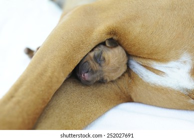 A cute little newborn whelp is lying between the legs of its mother. Both pets are sleeping peacefully. Image as a closeup on white background.