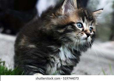 Norwegian Forest Kitten Images Stock Photos Vectors Shutterstock