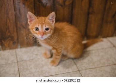 Cute little orange kitten with sad look on its face