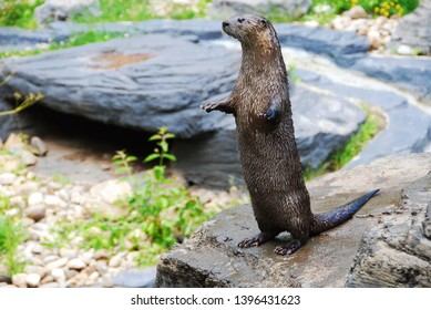 Cute little otter standing on its hind legs