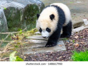 a cute little panda playing on the ground