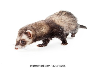 Cute little pet ferret on white smelling the ground
