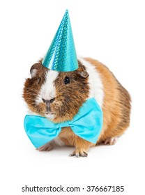 Cute little pet guinea pig wearing a blue bow tie and party hat