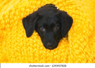 Cute little pet Labrador retriever puppy. Baby Labrador Retriever dog wrapped in a yellow warm knitted blanket. Comfort, warmth and  pets care concept.