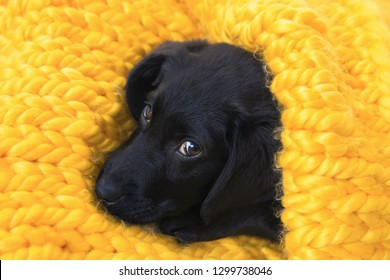 Cute little pet Labrador retriever puppy is going to sleep. Baby Labrador Retriever dog wrapped in a yellow warm knitted blanket. Comfort, warmth and  pets care concept.