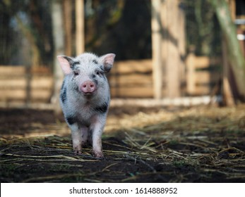 Cute little pig on the farm. Portrait of a spotted pig