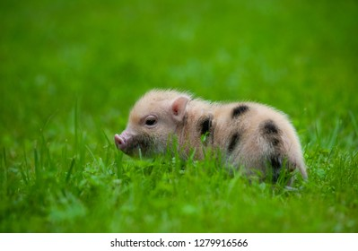 Cute little piglet of minipig in grass