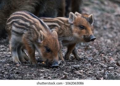 cute little piglets strung together enjoying their meal