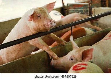 A cute little  pigs in a stable climbing the fence