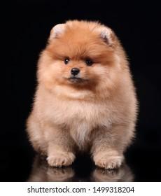 Cute little pomeranian spitz puppy sitting on a black background. Fluffy puppy