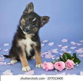 Cute little Pomsky puppy tilting her head, sitting on a purple background with pink roses and rose petals around her.