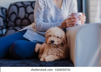 Cute little poodle puppy sitting on sofa at home, unrecognizable woman owner holding a cup of coffee. Home, indoors