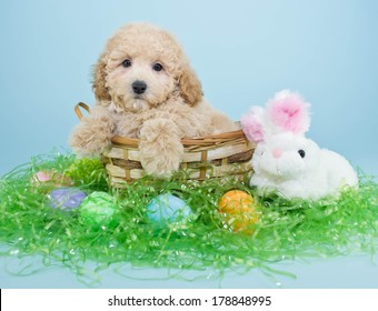 A cute little Poodle puppy sitting in a basket with an Easter bunny and Easter eggs around him.