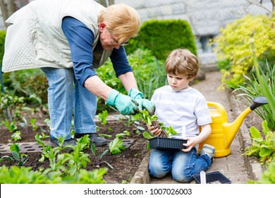 Cute little preschool kid boy and grandmother planting green salad in spring. Happy blond child and elderly woman, grandmum having fun together with gardening. Kid helping in domestic vegetable garden