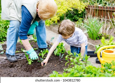 Cute little preschool kid boy and grandmother planting green salad in spring