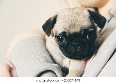 cute little pug puppy