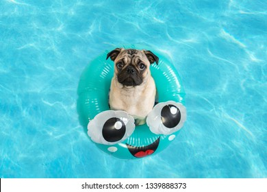 Cute little pug puppy floating in a pool in a fun inflatable ring