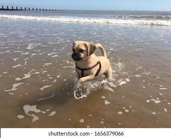 Cute little puggle running and enjoying the beach