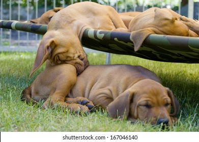 cute little puppies sleeping together outside in garden on a hammock. one of them is sleeping funny on another one.