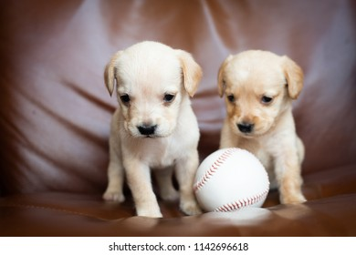 cute little puppies white colour at home with baseball ball