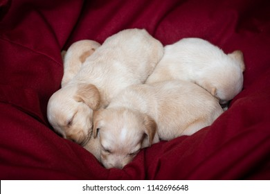 cute little puppies white colour at home sleeping