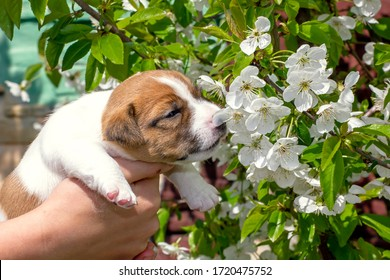 cute little puppy bitch jack russell terrier sniffs cherry flowers. Natural background. Home garden