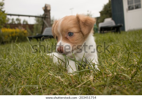 cute little puppy with blue eyes, sitting outdoors eating the grass