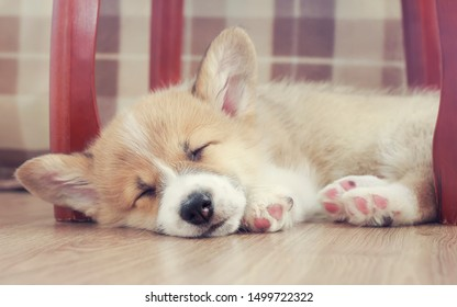 cute little puppy dog Corgi with big ears sweetly sleeps on the wooden floor with his eyes closed and outstretched legs