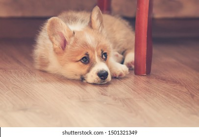 cute little puppy dog Corgi with big ears lies on the floor and looks sad