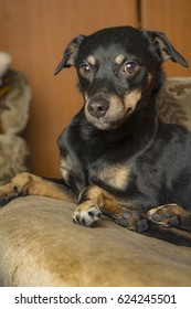 Cute little puppy dog portrait, black rescue dog resting in the armchair