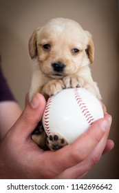 cute little puppy on big baseball ball in man hands