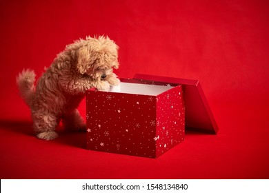 cute little puppy playing with a box of Christmas presents on a red background