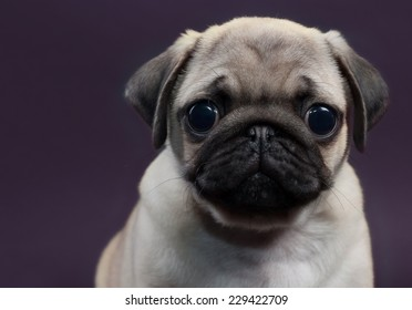 cute little puppy pug