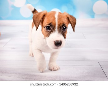 cute little puppy red and white