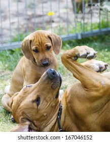 Cute little puppy sitting beside his mother. It is looking funny while the mommy is rolling on her back.