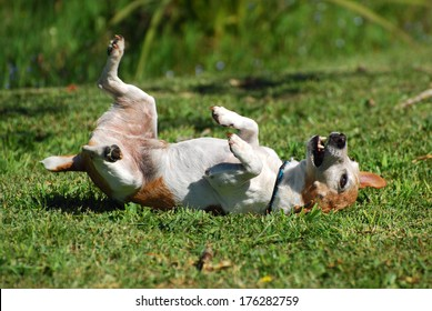 A cute little purebred Parson Jack Russell Terrier dog scratching his back by rolling over backwards and forwards on the lawn.
