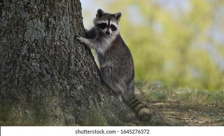 Cute little raccoon near a tree.