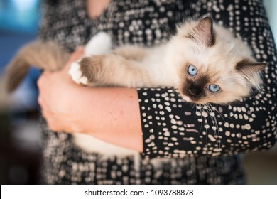 A cute little ragdoll kitten relaxed in the arms of its owner. The cat has blue eyes, and is white and brown.