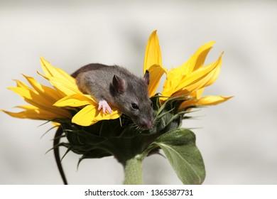 Cute little rat among yellow sunflower petals