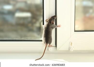 Cute little rat climbing up the window
