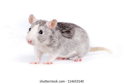 cute little rat on white background looking at camera