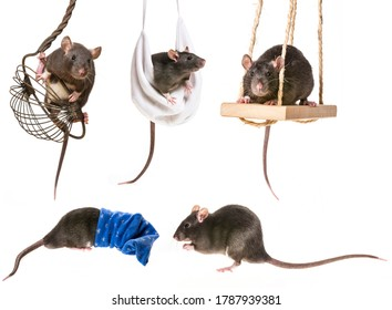 a cute little rats funny pictures
