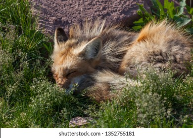 A cute little red fox sleeping next to a rock in the sunshine and surrounded by green spiring grass.