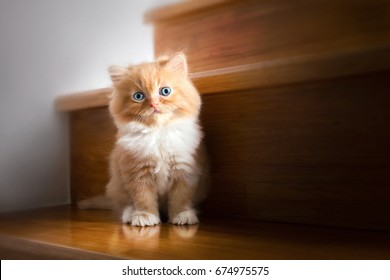 Cute little red kitten Persian Cat Siting on stairs at home