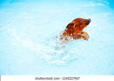 Cute little red piglet duroc breed swimming in blue water of frame pool. New Year 2019 Yellow pigs. Concept of healthy lifestyle in nature, love of peace, vegetarian, vegan style, respect for nature