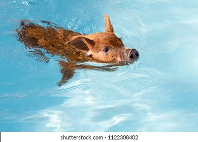 Cute little red piglet floating in blue water of frame pool. New Year 2019 Yellow Pigs. Сoncept of healthy lifestyle in nature, love of peace, vegan, vegetarian style, respect for nature